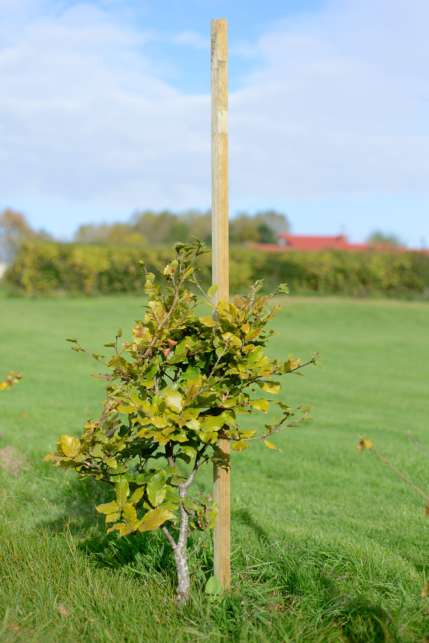 Dahlia stakes are square cut pressure treated pieces of timber which are best used to support your plants or trees.